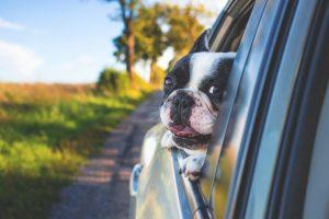 Lycklig hund i en bil
