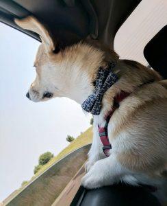 En hund som åker bil