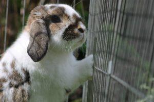 En kanin i bur som tittar ut