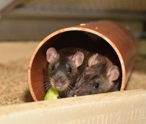 Två råttor i ett plaströr
